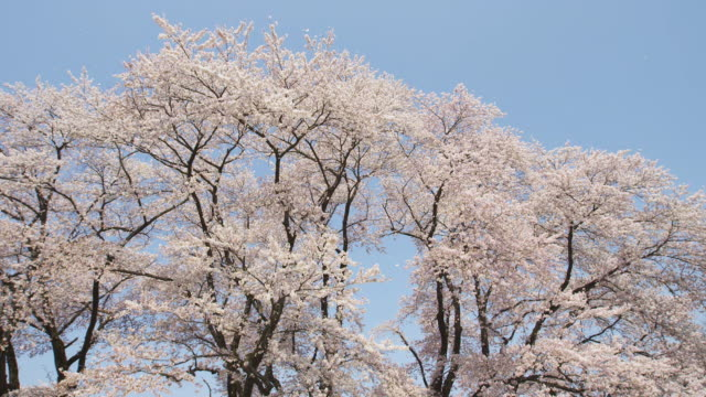 petals of cherry blossoms flying with breeze - inquadratura dal basso video stock e b–roll