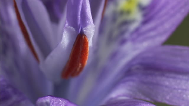 Petals surround a purple and red stamen on a flower. Available in HD