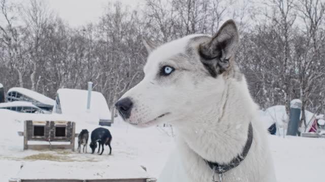 CU Petting ein Schlittenhund eines Norwegen lodges