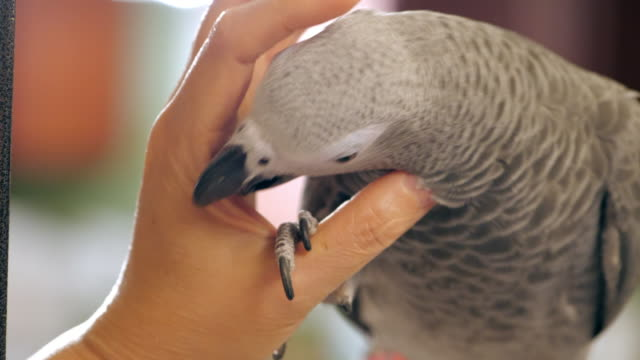 petting african grey parrot - domestic animals stock videos & royalty-free footage