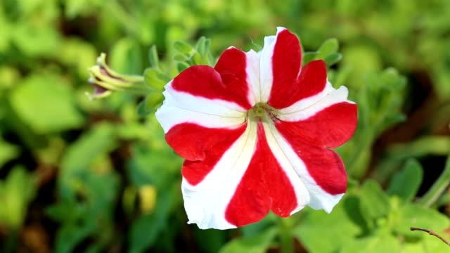 vídeos y material grabado en eventos de stock de flor de petunia que ha sido volada de un lado a otro. - pistilo