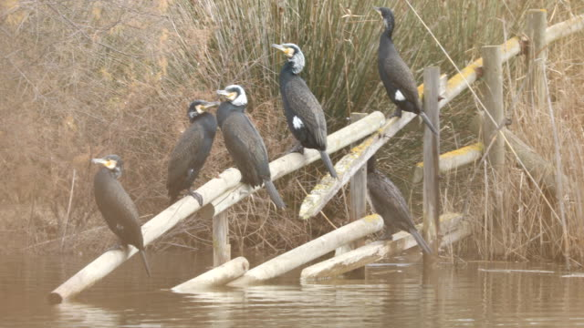 stockvideo's en b-roll-footage met phalacrocorax carbo familie waar de llobregat delta vijver-barcelona - cormorant