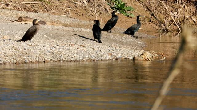 stockvideo's en b-roll-footage met phalacrocorax carbo-familie op de rivier llobregat - barcelona - cormorant