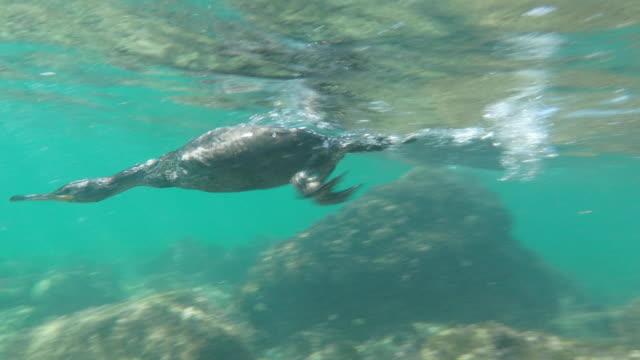 phalacrocorax carbo fishing underwater,  in costa brava - girona - sea water bird stock videos & royalty-free footage