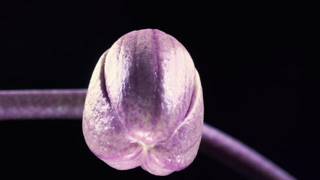 phanaelopsis orchid blooming in time lapse video - blossom stock videos & royalty-free footage
