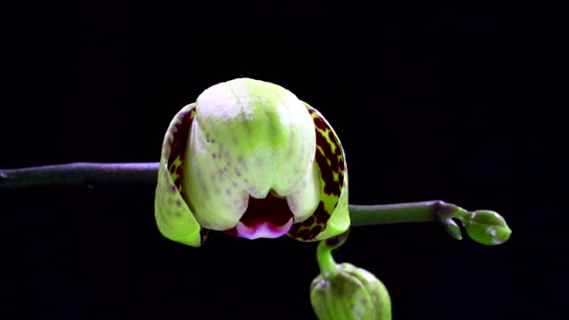 phanaelopsis orchid blooming - orchid stock videos & royalty-free footage