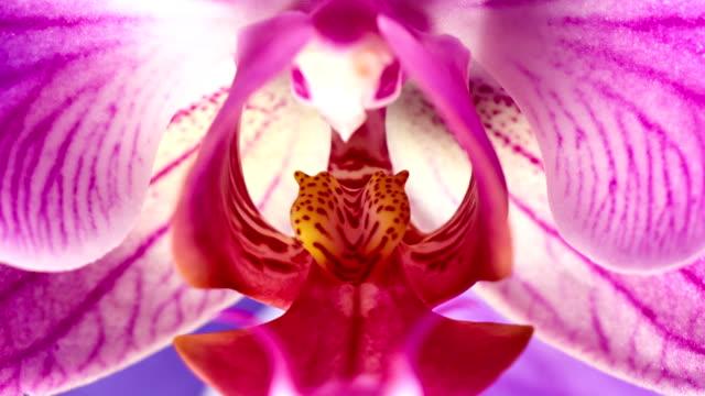 phanaelopsis orchidee blühenden - baumblüte stock-videos und b-roll-filmmaterial