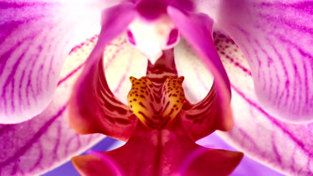 phanaelopsis orchid blooming - blossom stock videos & royalty-free footage