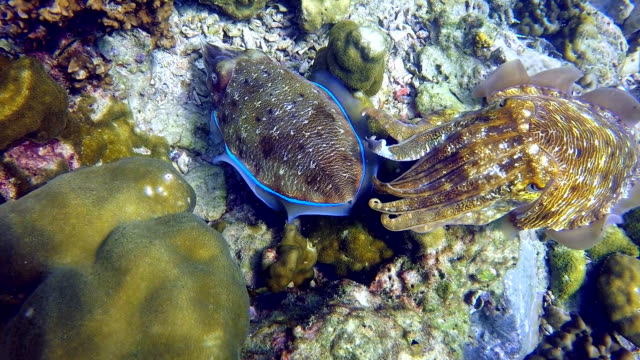 Pharoah Cuttlefish (Sepia) Cephalopod Pair Laying Eggs