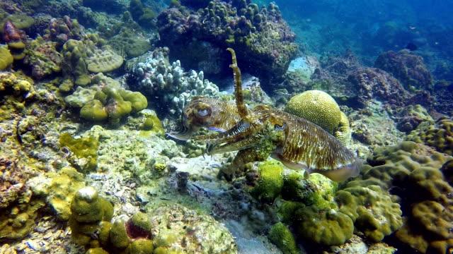 stockvideo's en b-roll-footage met koppotigen paar pharoah inktvis (sepia) legt eieren - zeekat