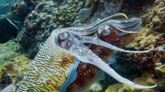 pharoah cuttlefish (sepia) cephalopods mating ritual - cuttlefish stock videos & royalty-free footage