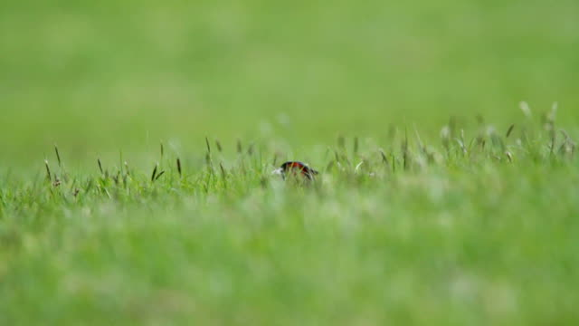 pheasant in grass - hunting sport stock videos and b-roll footage