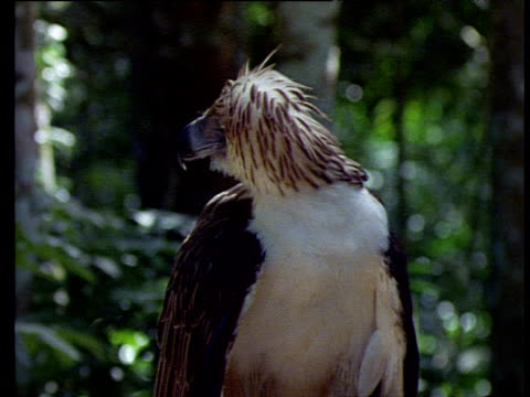 philippine eagle looks around, sees something and takes off towards camera, philippines - eagle bird stock videos and b-roll footage