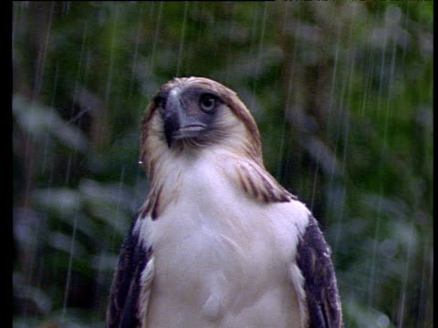 philippine eagle perched facing camera, feathers flattened by rain, philippines - animals in the wild stock-videos und b-roll-filmmaterial