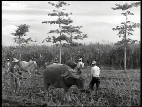 stockvideo's en b-roll-footage met philippine farmers w/ cattle plowing grass field ms farmer cattle plowing ws farmers w/ rice hats planting rice in water soil ms two farmers bent... - filipijnse etniciteit
