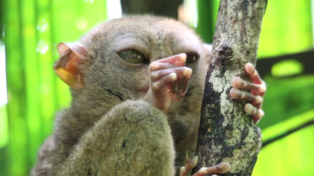 Philippines Tarsier opening its eyes wide.