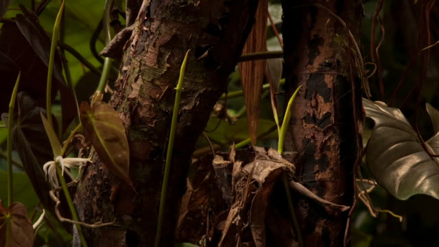 philodendron plants flex and grow around the trunks of trees in a lush forest. available in hd. - vine stock videos & royalty-free footage