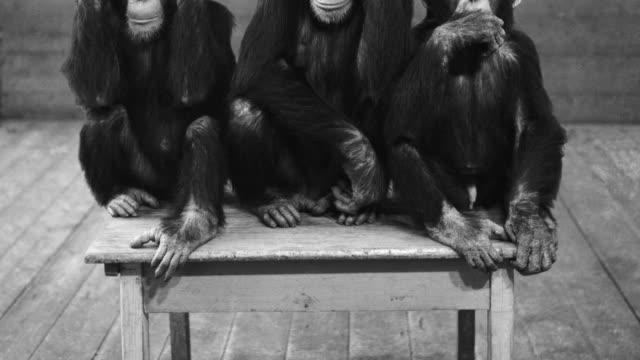 vídeos de stock, filmes e b-roll de a photograph captures chimpanzees in the 'hear no evil, see no evil, speak no evil' pose at hamburg's tierpark hagenbeck zoo. - não vejo