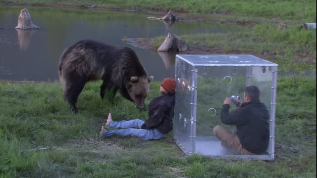 vidéos et rushes de a photographer in a protective cube watches a grizzly bear investigate a dummy. - agression
