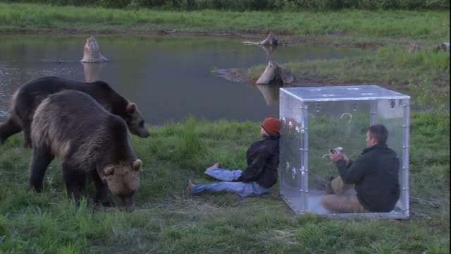 vidéos et rushes de a photographer in a protective cube watches grizzly bears investigate a dummy. - agression