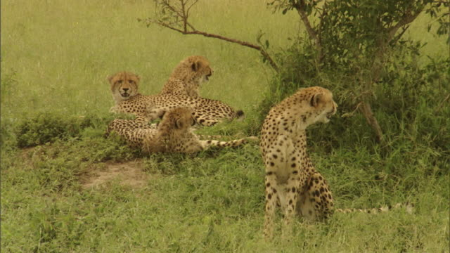 A photographer watches from a jeep as a pack of cheetahs rest under a tree on a grassy Savanna.
