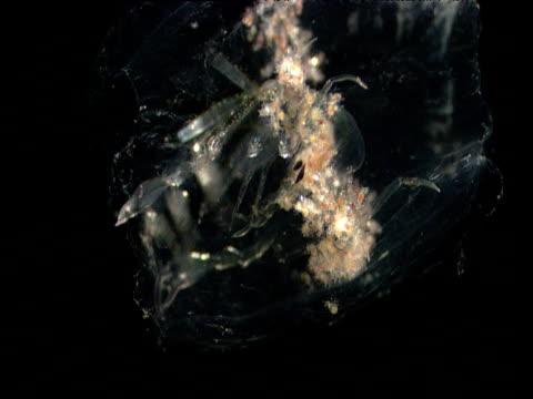 phronima pushes salp body containing phronima eggs, gulf of mexico - cava video stock e b–roll