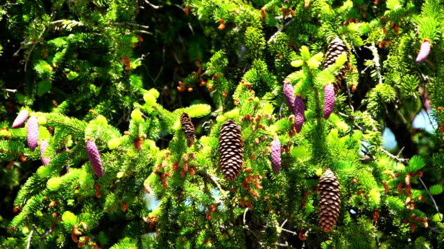 picea abies in bloom - pinecone stock videos & royalty-free footage