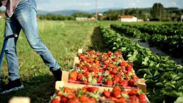 picked strawberries - fragola video stock e b–roll