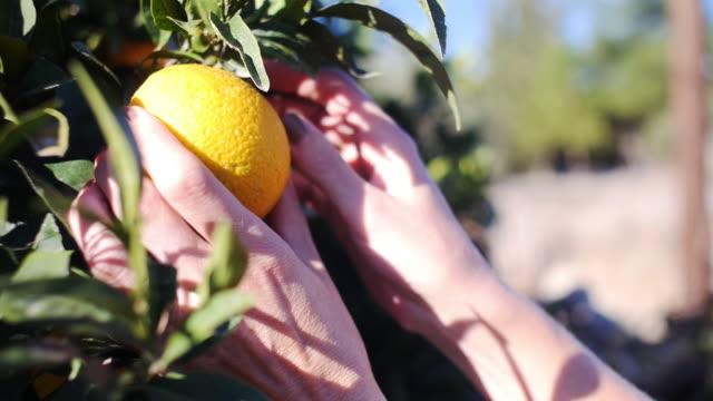 picking an orange from a tree - オレンジの木点の映像素材/bロール