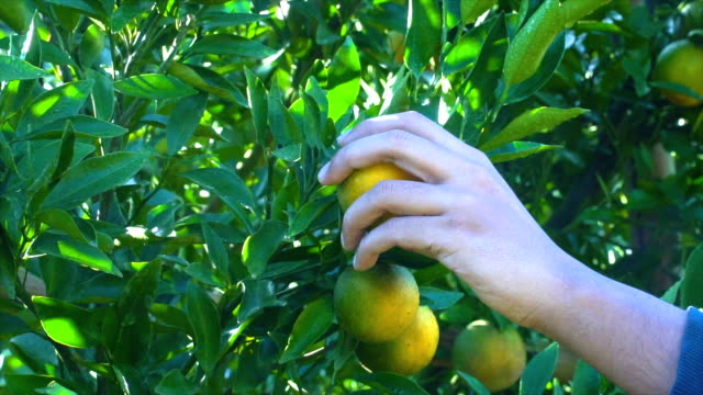 slomo picking an orange from tree - orange stock videos & royalty-free footage