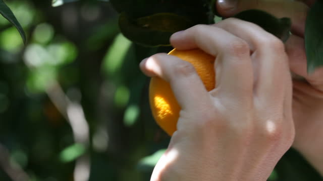 Picking an orange