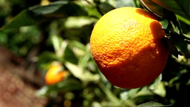 Picking an orange