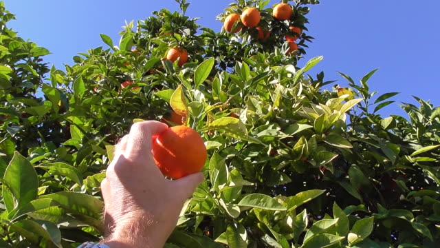 vídeos de stock, filmes e b-roll de escolhendo uma laranja - pegando frutos