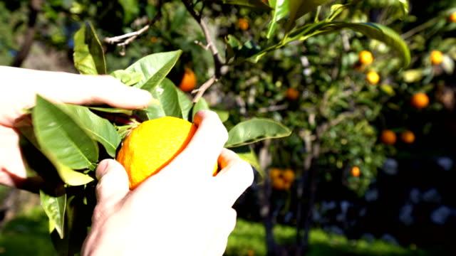 picking an orange - orchard stock videos & royalty-free footage