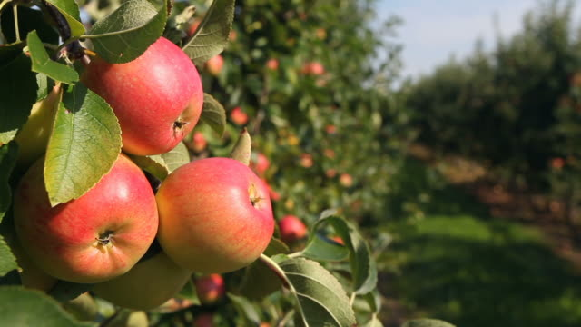 picking apple from tree - frische stock videos & royalty-free footage