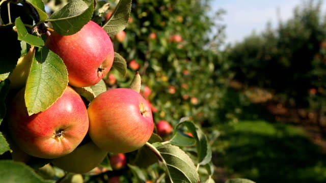 stockvideo's en b-roll-footage met picking apple from tree - boomgaard