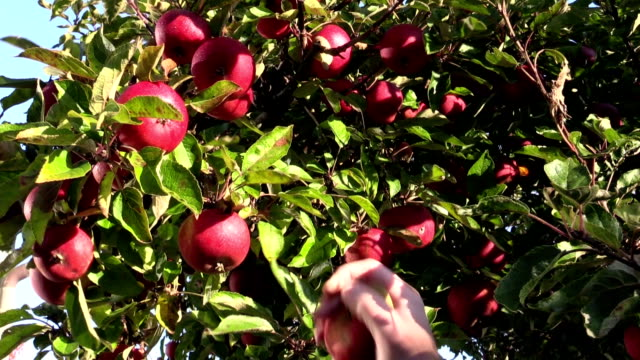 Picking apple