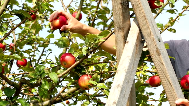 Picking apples, 2 shots