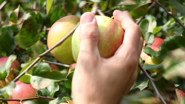 picking apples on orchard - apple orchard stock videos & royalty-free footage