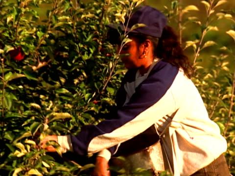 vidéos et rushes de picking apples - ouvrier agricole