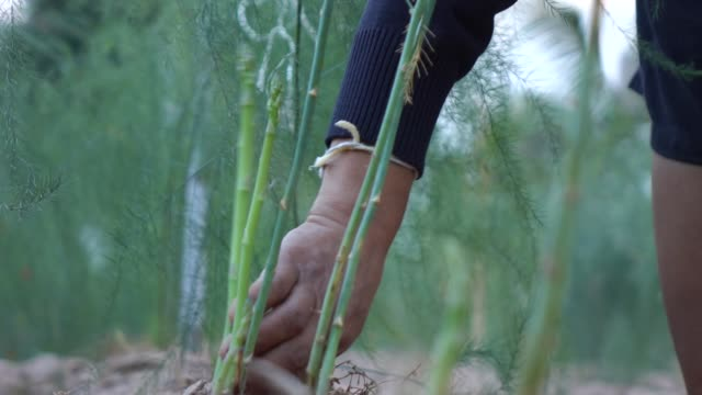 picking asparagus slow motion - asparagus stock videos & royalty-free footage