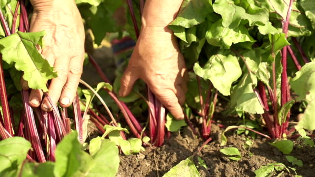 picking beets - land stock videos & royalty-free footage