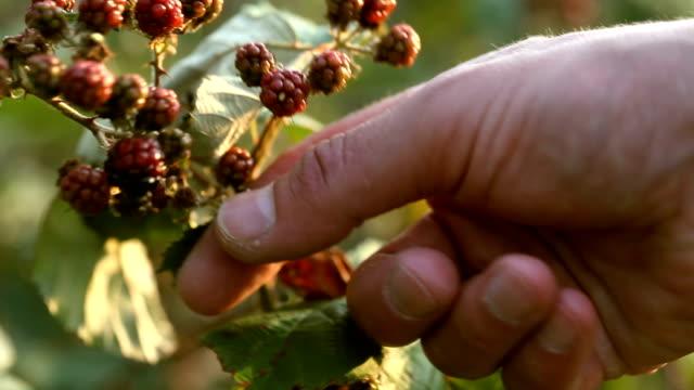 vídeos de stock, filmes e b-roll de colheita de frutas silvestres - processo vegetal