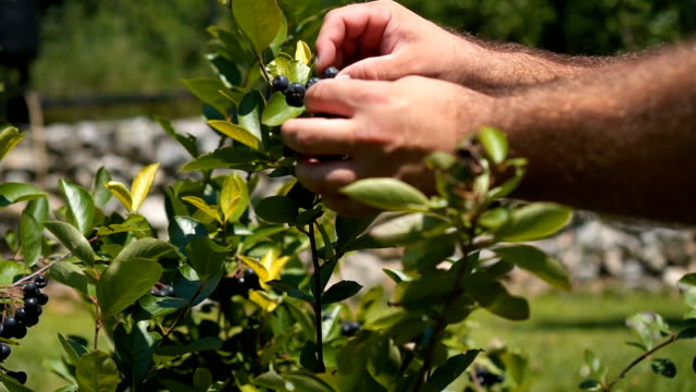 picking blueberries - blueberry stock videos & royalty-free footage