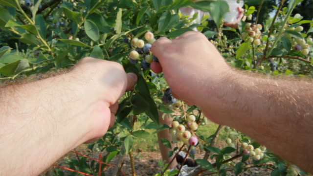 picking blueberries (hd) - harvesting stock videos & royalty-free footage