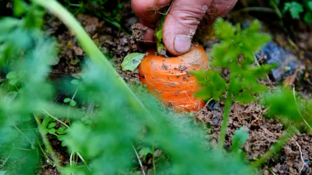 picking carrot in field - vegetable stock videos & royalty-free footage