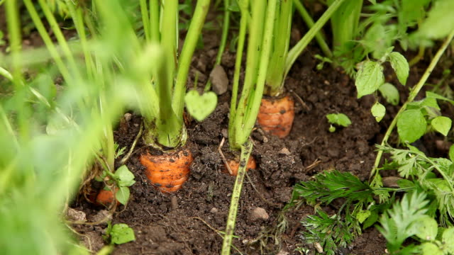 stockvideo's en b-roll-footage met picking carrot - oogsten