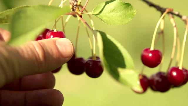 picking cherries - cherry stock videos & royalty-free footage