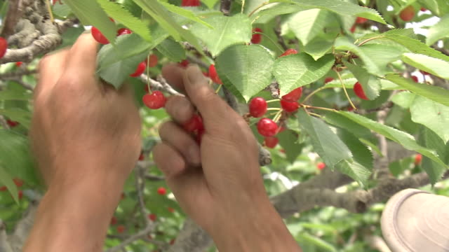 picking cherry and leaf from branch, tochigi, japan - pruning stock videos & royalty-free footage