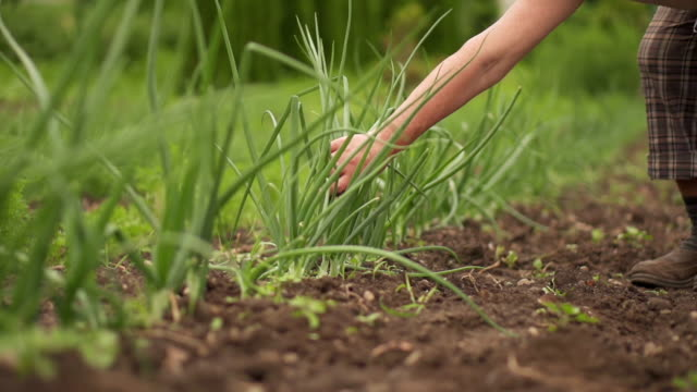 picking chives - chive stock videos & royalty-free footage